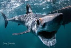 Curious shortfin Mako in Baja California smiling for the ... by Lucia Baranova