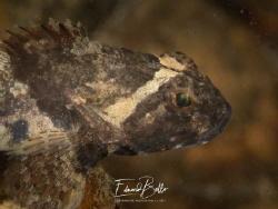 Ordinary, Enophrys Bubalis (zeedonderpad) by Eduard Bello
