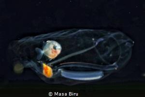 jelly fish by Masa Biru