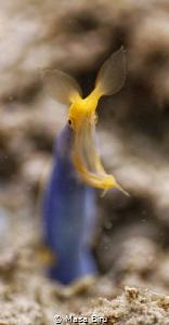 rainbow eel by Masa Biru