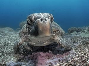Green turtle (Chelonia mydas) Negros, Philippines by Aleksandr Marinicev
