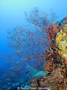 Deep Sea Fans, French Cap Island, U.S. Virgin Islands by Pauline Walsh Jacobson