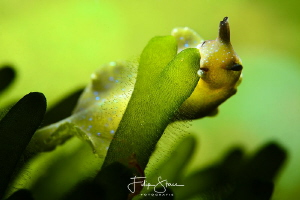 Sap-sucking slug (Elysia viridis), Lake Grevelingen, Zeel... by Filip Staes