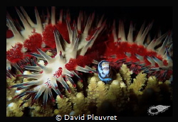 In the arms of a big acanthaster by David Pleuvret