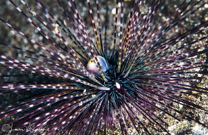 Black Sea Urchin/Photographed with a Canon 100 mm macro l... by Laurie Slawson