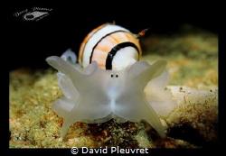 Black Eyes shrimp... amplustrum amplustre by David Pleuvret