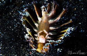 Haig's Porcelain Crab/Photographed with a Canon 60 mm mac... by Laurie Slawson