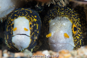 A cute couple. Snowflake moray eels. by Mehmet Salih Bilal