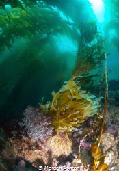 Kelp Diving in the Channel Islands. Southern California. by Morgan Ashton