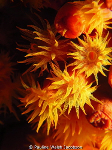 Orange Cup Coral, Tubastraea coccinea, U.S. Virgin Islands by Pauline Walsh Jacobson