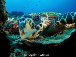 Nosey Parker  Hawksbill Turtle - Eretmochelys imbricata... by Stefan Follows