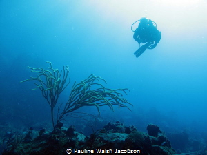 Diver at French Cap, U.S. Virgin Islands by Pauline Walsh Jacobson