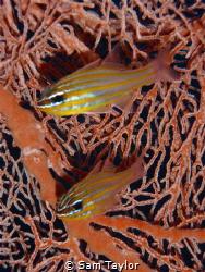Cardinalfish. Pocket Olympus camera. by Sam Taylor
