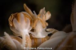 Nudibranch Phyllodesmium jakobsenae Romblon, Philippines by Oksana Maksymova