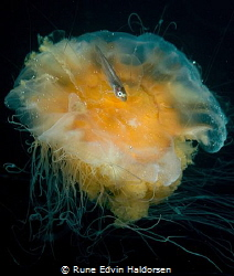 Lions mane jellyfish with whitting by Rune Edvin Haldorsen