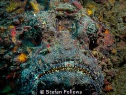 Bring it ... !  Reef Stonefish  - Synanceia verrucosa ... by Stefan Follows