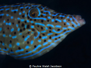 Scrawled Filefish, Aluterus scriptus, Blue Heron Bridge, ... by Pauline Walsh Jacobson