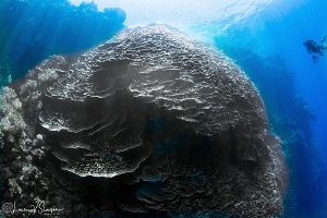 Massive coral formation in the Red Sea/Photographed with ... by Laurie Slawson