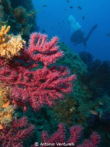 deep coral by Antonio Venturelli