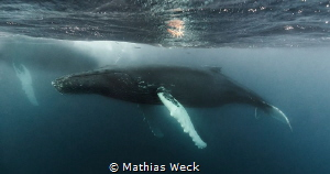 Humpback Whale at the Silverbanks / Dominican Republic by Mathias Weck