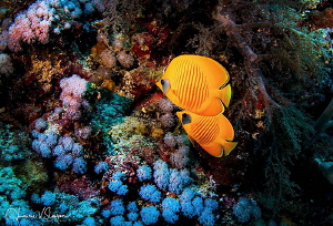 Butterfly Fish/Photographed with a Tokina 10-17 mm fishey... by Laurie Slawson