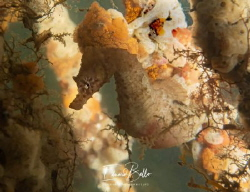 Short nose seahorse, rare in the dutch waters. by Eduard Bello