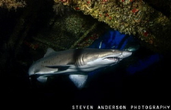 Sand Tiger Shark hovers in the Aeolus, a wreck off of Nor... by Steven Anderson