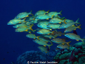 Smallmouth Grunts, Haemulon chrysargyreum, Bonaire by Pauline Walsh Jacobson