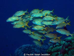 Smallmouth Grunts, Haemulon chrysargyreum, Bonaire by Pauline Walsh Jacobson