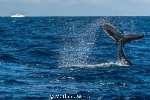 Humpback Whale at the Silverbanks by Mathias Weck
