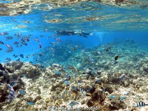 Coral Reef, Snorkeler, Fish, Bora Bora by Pauline Walsh Jacobson