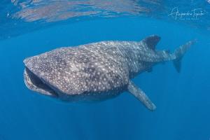 Whale Shark Feeding, Isla Contoy México by Alejandro Topete