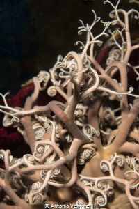 diving basket star photo by Antonio Venturelli