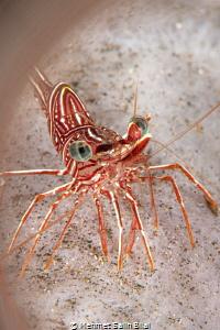 Red army shrimp. by Mehmet Salih Bilal