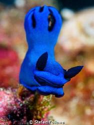 Big Blue  Nudibranch - Tambja morosa  Bali, Indonisia by Stefan Follows