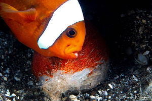 Clarke's Anemonefish Aerating Eggs/Photographed with a Ca... by Laurie Slawson