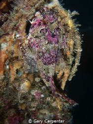 Long-spined sea scorpion (Taurulus bubalis) - Picture tak... by Gary Carpenter