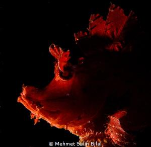 Red rhionopias eschmeyeri. by Mehmet Salih Bilal