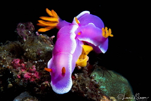 Hypselodoris Apolegma Mating and Laying Eggs That Are Bei... by Laurie Slawson