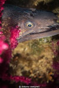 close up of moray eel head by Antonio Venturelli