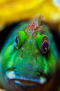 Blenny Green with funny hair, Plataforma Tiburon México by Alejandro Topete