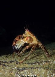 Velvet Swimming Crab (Necora puber) - Picture taken in Ke... by Gary Carpenter