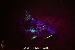 Spotted goatfish under blacklight by Arun Madisetti