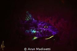 Spotted goatfish under blacklight by Arun Madisetti