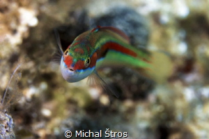 Curious Rainbow wrasse (Coris julis) by Michal Štros