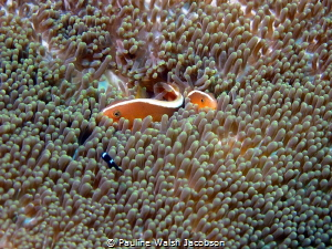 Orange Skunk Anemonefish, Amphiprion sandaracinos, Bangka... by Pauline Walsh Jacobson