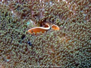 Orange Skunk Anemonefish, Amphiprion sandaracinos, Bangka... by Pauline Walsh Jacobson