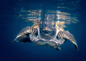 The joy of seeing a juvenile green turtle being released. by Elaine Wallace