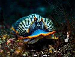 Clothes of sand  Nudibranch - Armina semperi  Bali, I... by Stefan Follows