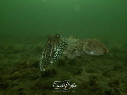 Couple cuttlefish, 2nd time thus summer, eggssetting duri... by Eduard Bello